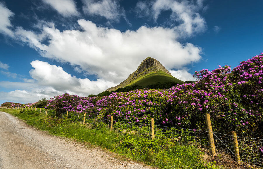 Rhododendrons under Benbulben